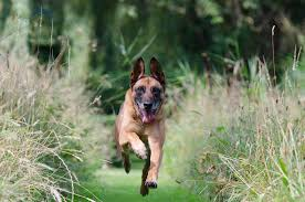 belgian shepherd us army dog breeds belgian malinois dog temperament and personality