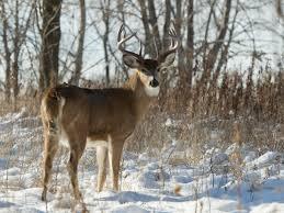 differences between mule deer and whitetail deer huntin fool blog whitetail deer in the winter