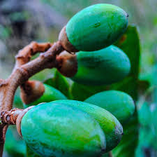 native plants of madagascar if lemurs go extinct madagascar u0027s large seeded plants may too