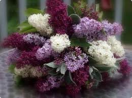 lilac flowers lilac flowers pixdaus