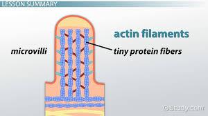 microvilli vs cilia structure u0026 size video u0026 lesson transcript
