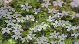 gardening tips gardening tips u0026 flowers how to grow blue star creeper pratia