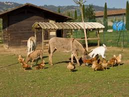 cerco animali da cortile prendere un bovino o una pecora o una capra o un suino o cavallo o