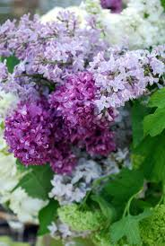 557 best lilac images on pinterest flowers lavender and lilacs