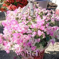 Fertilizer For Flowering Shrubs - bougainvillea 101 bougainvillea plant care u0026 fertilizer