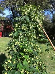growing hops part i crooked run brewing