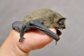 small bat bat spreads rabies in clermont county