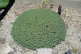 Botanical Gardens Ubc by Euphorbia Clavarioides Wikipedia