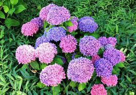 Purple Hydrangea Hydrangea Myths Garden Myths