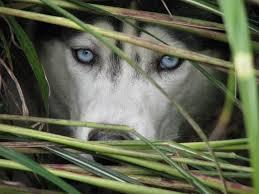 beautiful walker the siberian husky peeking through the blades