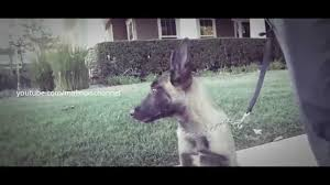 belgian shepherd los angeles videos u2013 puremalinois
