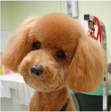 yorkie teddy bear face haircut awesome doggies mobile grooming s top cuts for pups