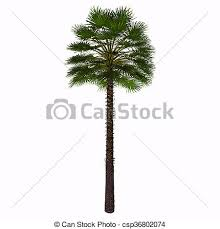 mediterranean fan palm tree mediterranean fan palm tree this palm is often found as a stock