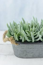 succulents aeoniums pack of 12 6in
