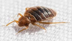 How To Identify Bed Bugs What Do Bed Bug Bites Look Like Bed Bug Bites In Sc