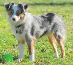 8 year old australian shepherd puppy uglies