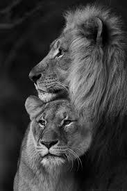 male lion wallpapers lion wallpaper couple u2013 best wallpaper download