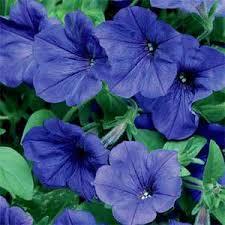 petunia flowers petunia grandiflora seeds blue petunia flower seed
