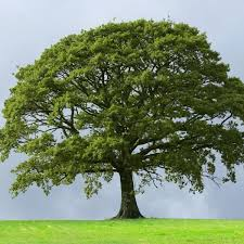 sawtooth oak trees buy at nature