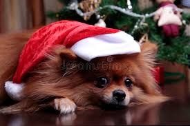 pomeranian in a hat of santa claus lying the christma