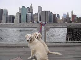 5 dog laws every nyc dog lover must know