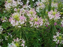 Cleome Flower - cleome sparkler blush f1 all america selections