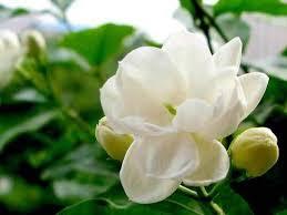 Jasmine Flowers What Color Is Jasmine Quora