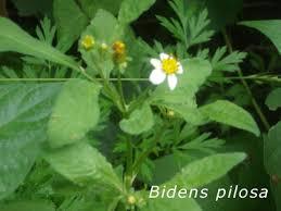 treat mrsa with spanish needle or bidens pilosa