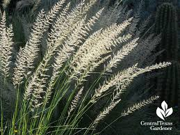 Fall Garden Plants Texas - lindheimer muhly seed heads fall texas friendly plants