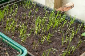 when to sow nigella seeds out of my shed