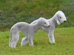 grooming a bedlington terrier puppy bedlington terrier history personality appearance health and