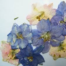 pressed flowers pressed flowers larkspur delphinium pack of 7 daisyshop
