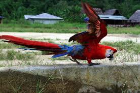 scarlet macaw facts u2013 scarlet macaw diet u0026 behavior