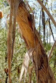 friends of peacehaven botanic park inc new members new plants eucalyptus scoparia gum trees 2 pinterest plants