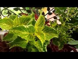How To Grow Coleus Plants by How To Grow Coleus Plant From Cuttings Youtube