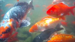 koi u0026 goldfish pond 2017 underwater youtube