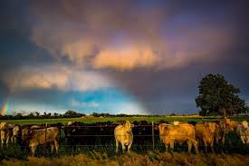 cow photography print bovine picture cattle wall art cows