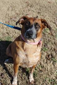 australian shepherd jack russell mix view ad australian shepherd pointer mix dog for adoption