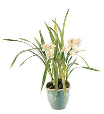 orchid plants white orchid plant tf212 2 137 66