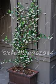 online shop 20 pcs bag rare courtyard climbing plants jasmine
