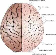 Gross Brain Anatomy Gross And Microscopic Anatomy Of The Cerebral Hemispheres Neupsy Key