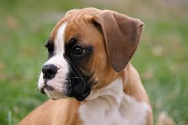 boxer dog feet 5 tips for safely removing ticks from dogs petful