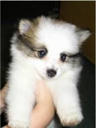 american eskimo dog japanese spitz difference dogs dogs of all colour shapes u0026 sizes raw fish dogs