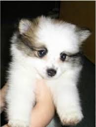 american eskimo dog breeders atka the american eskimo dog photo from akc dog show