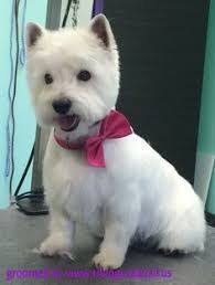 images of westie hair cuts image result for westie hair cuts westie haircuts pinterest