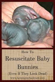 how to resuscitate baby bunnies even if they look dead farming