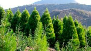 u cut christmas tree farms in california kcet