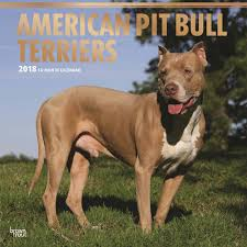 american pitbull terrier in uk american pit bull terrier calendar 2018 calendar club uk