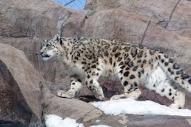 snow leopard afghanistan national animal wallpapers9