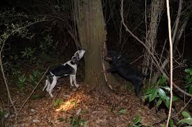 bluetick coonhound climbing tree what u0027s the best coonhounds louisiana sportsman content la